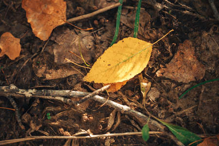 Fallen yellow leaves of trees lying on the ground, autumn time. Stock Photo