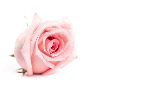 Macro shot of pink rose on white background, gift for Valentine's day, March 8, mother's day. 版權商用圖片