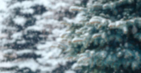 Christmas tree without decorations outdoor in park with bokeh, beautiful blue spruce snow fall. unfocused photo rasblurred.
