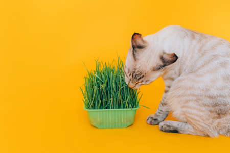 Tabby cat eats green grass against yellow background. Healthy animal nutrition concept.