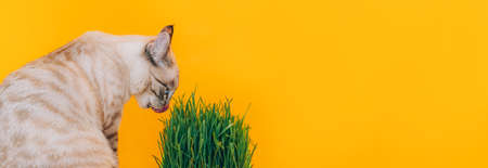 Cat licks its lips while looking the green grass against yellow background. Healthy eating concept. Banque d'images