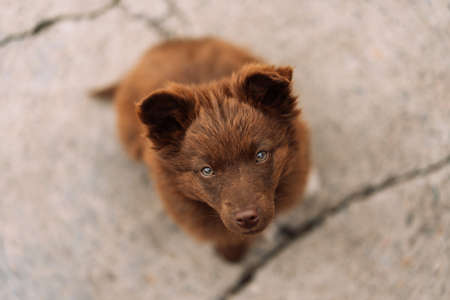 Brown-colored puppy with green eyes sits and looks at the camera. Pet love concept.