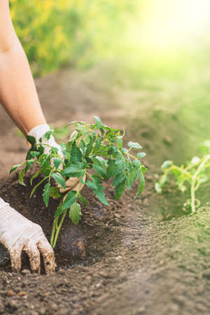 Woman hands in gloves Planting tomato sprouts in the ground.