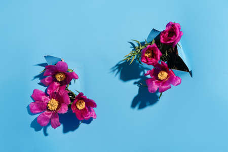 Pink Peony evading in holes in paper on blue background.