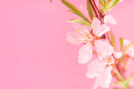 Close up photo of Wild Pink almond bloom on pink background. Spring time.