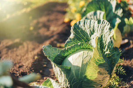 Head of large cabbage growing in the garden.