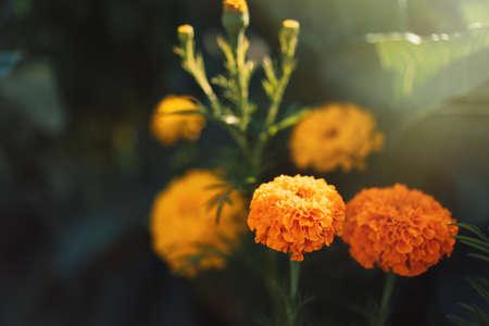 Bush of orange flowers in the sun. Banque d'images
