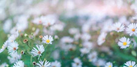 Big bush of blooming daisies outdoors.