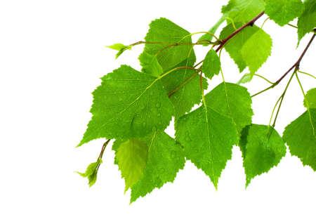 birches: Birch leaves Stock Photo