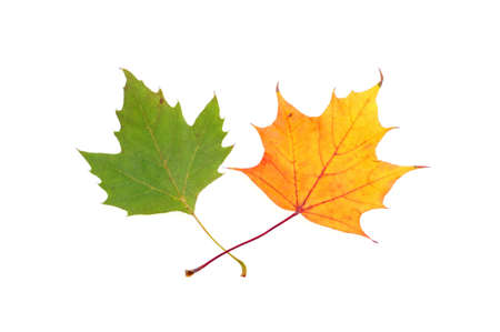 changing form: Two maple leaves on the white background Stock Photo