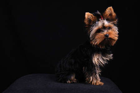 Yorkshire terrier sobre el fondo negro photo