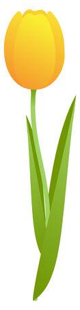 Single yellow tulip, isolated on white background.illustration Stock Vector - 6276577