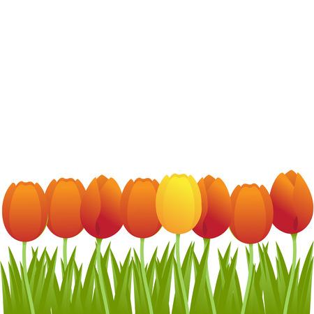 tulips field: Bright orange tulips isolated on white background.  illustration.