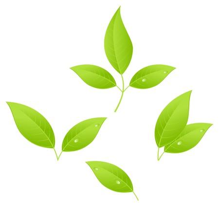 verde: Hojas de té, joven arbolitos.  Vectores