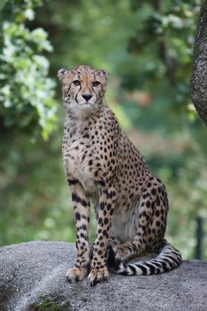 jubatus: Portrait of a Cheetah - Acinonyx jubatus