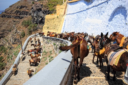 donkeys from Santorini Greece on the way to the old port of Fira photo