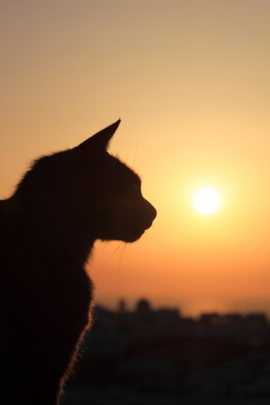 Cat at sunset in Oia Santorini Greece Stock Photo - 13680167