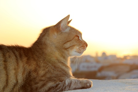 Cat at sunset in Oia Santorini Greece photo
