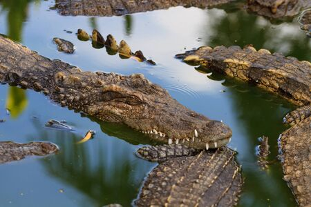 Crocodiles in water in Thailand photo