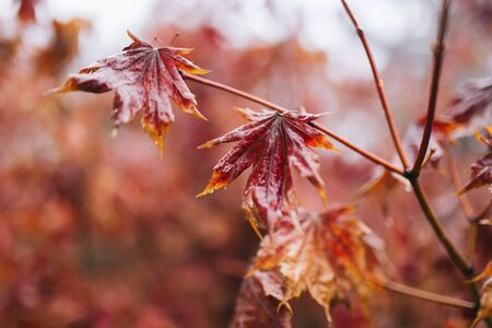 close up red maple leaves and branch with rain water drops on it. Rain during winter in South Korea Stock fotó