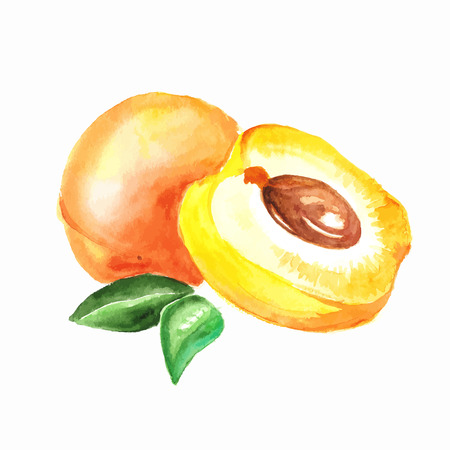 apricot. Vector watercolor painting on white background Vettoriali
