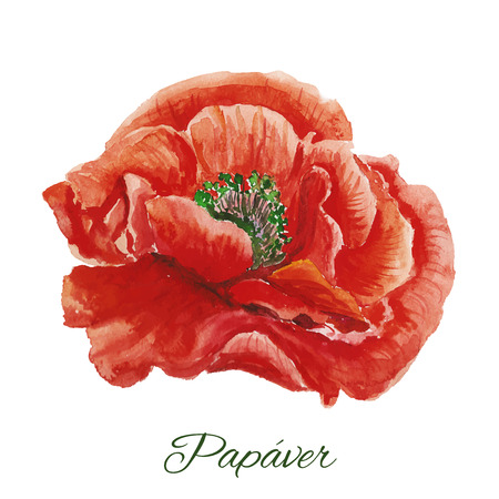 red poppy: Beautiful watercolor paint red poppy. Vector illustration.