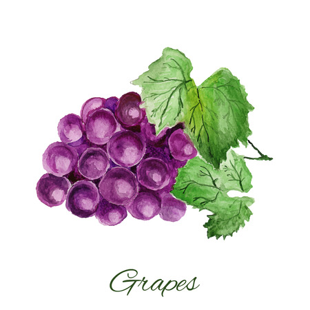 grapes. watercolor painting on white background