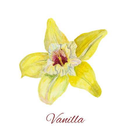 flor de vainilla: vainilla flor. Pintura de la acuarela en el fondo blanco. Pintura de la mano en el papel