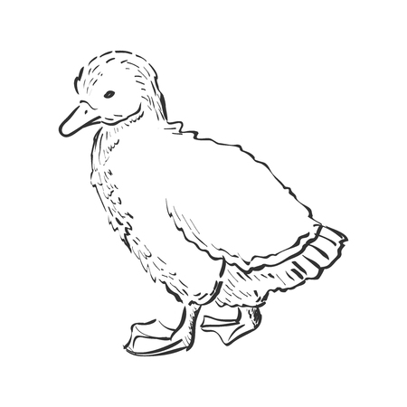 duckling: Nice small duckling. Doodle style. Isolated in white background. Excellent vector illustration, EPS 10