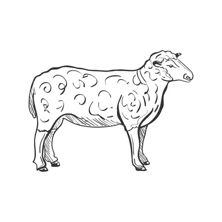 lamb cartoon: Doodle Sketchy Sheep. Vector Illustration. Isolated in white background.