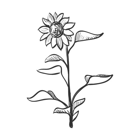 yellow flower: Doodle sunflower. Doodle style. Isolated in white background. Excellent vector illustration, EPS 10