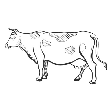 Doodle Sketchy Cow. Isolated in white background. Excellent vector illustration, EPS 10