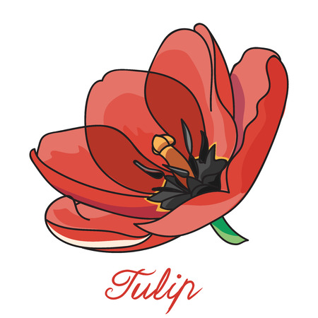 beauty birthday: Tulip. Red and beautiful tulip isolated on white background. Tulips for card. Illustration