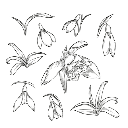 Vector hand drawn elegant snowdrop flowers and leaves