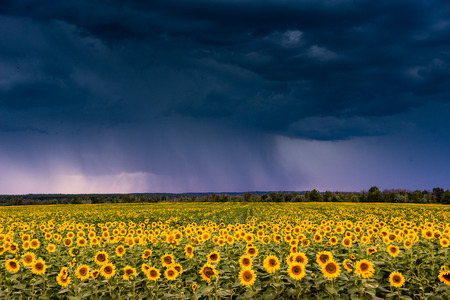 A stormy sky over a field with sunflowers.
