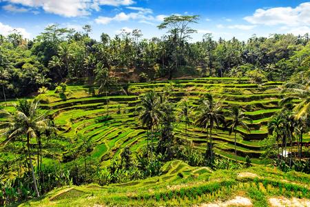 夏には、インドネシア ・ バリ島の棚田