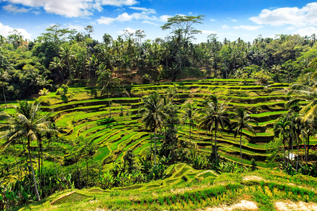 indonesia culture: Rice terrace in summer, Bali, Indonesia