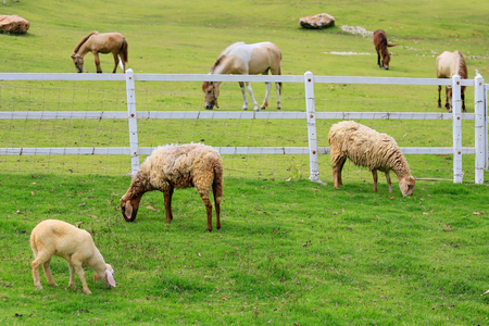forage: Sheep forage in sunny summer pasture Stock Photo