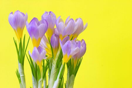 Violet crocuses over the yellow background photo