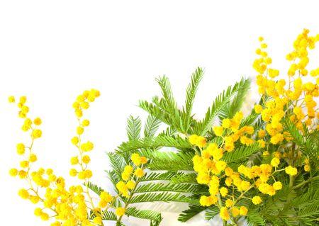 mimosa: Mimosa branches