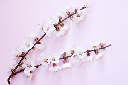Branches of blooming cherry tree