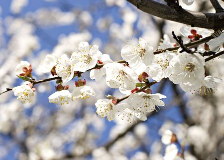 Branch of cherry tree in blossom Stock Photo