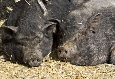 Two black pigs sleeping on the sun photo