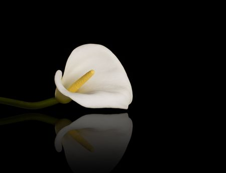 Beautiful calla lily with reflection over the black background