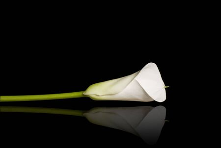lilies: Beautiful calla lily with reflection over the black background