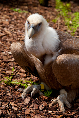 land animals: Large vulture in the zoo