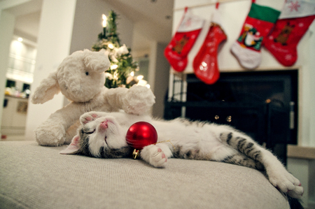 pampered pets: Merry Christmas cat. Kitten under tree, with sheep toy, sleeping on his back with bauble. Stock Photo