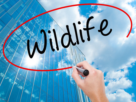 turismo ecologico: Man Hand writing Wildlife  with black marker on visual screen. Business, technology, internet concept. Modern business skyscrapers background. Stock Photo
