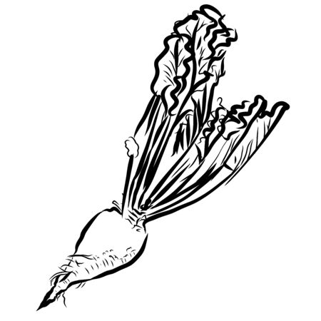 Sugar beet Sketch Vegetables Outline Vector Artwork, Hand drawn image Illusztráció
