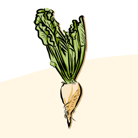 Colored beet sugar Vector Artwork, Fresh Food Collection, Handdrawn Clean Outline Sketch Ilustracja